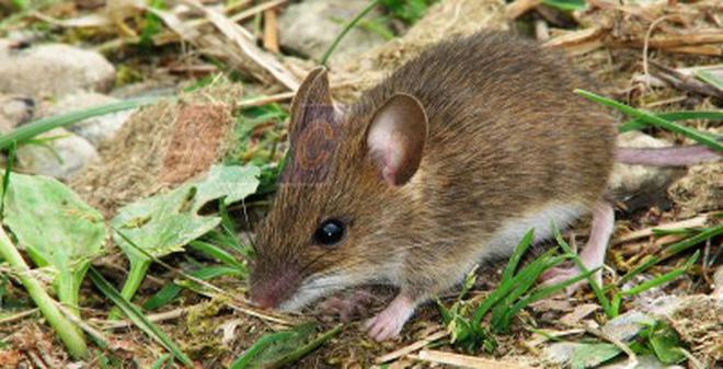 """Cách làm bẫy chuột """"bách phát bách trúng"""" mà vô cùng đơn giản"""