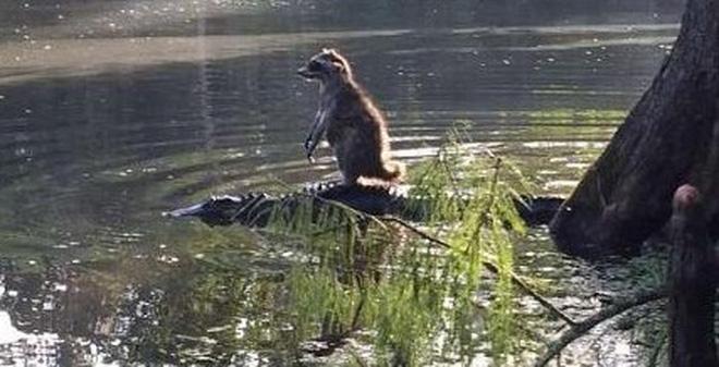 Gấu mèo cưỡi cá sấu sang sông