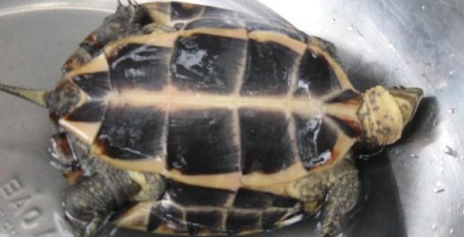 Phú Yên: Rủ nhau đi săn rùa vàng giá trăm triệu