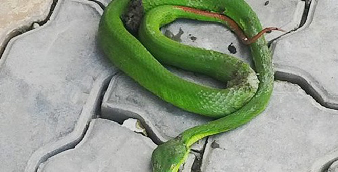Bé 9 tuổi bất ngờ giẫm phải rắn lục đuôi đỏ ở rừng cao su