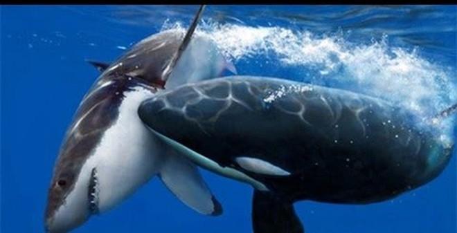 Cá voi sát thủ và cá mập trắng: Ai mới là hung thần biển cả?