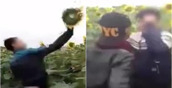 Bức xúc hành vi phá nát vườn hoa hướng dương của nhóm thanh niên