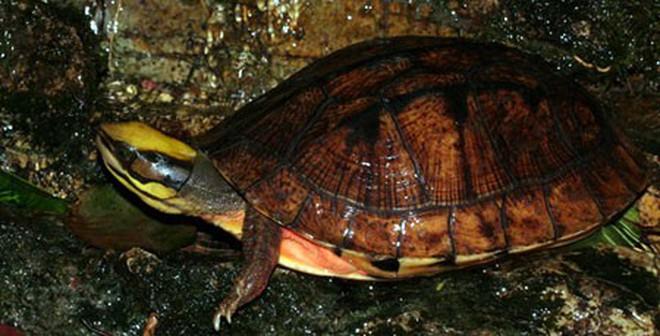 Ồ ạt săn rùa lạ đắt hơn vàng, người dân tay trắng về không