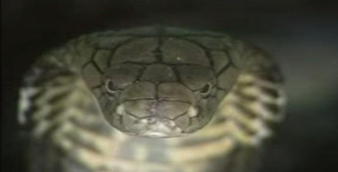 """Loài rắn """"bò nhanh như mây gặp gió"""", dài tới 4,5 mét ở VN"""