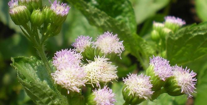 Cách chữa viêm xoang hiệu quả bằng cây cỏ mọc hoang ngoài vườn