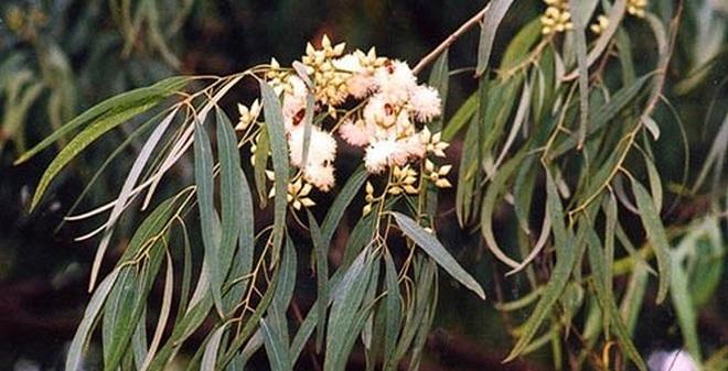 Kì lạ loài cây có khả năng 'đẻ' ra vàng