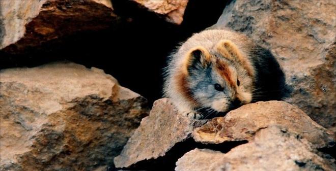 Loài chuột nhỏ giống Pikachu nhất đang đứng trên bờ tuyệt chủng