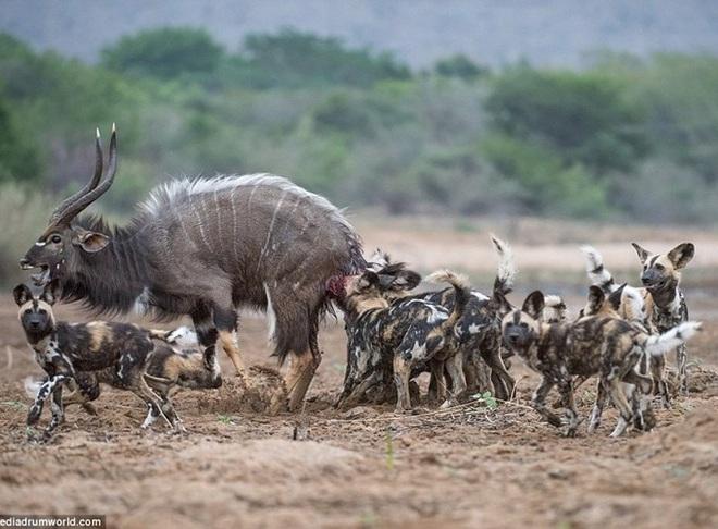 24h qua ảnh: Đàn chó hoang hợp sức hạ gục linh dương Kudu