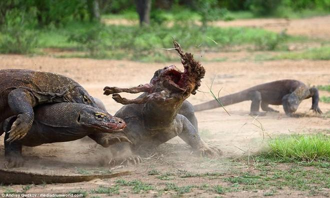 24h qua ảnh: Cuộc chiến tranh mồi đẫm máu của rồng Komodo - Ảnh 4.