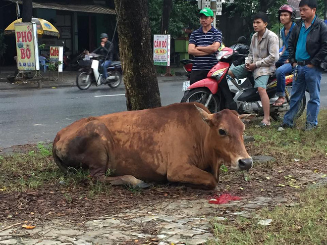 Đà Nẵng: Bò mới sinh con bị chặt chân, chặt đuôi vì ăn rau trong vườn gây xôn xao - Ảnh 2.