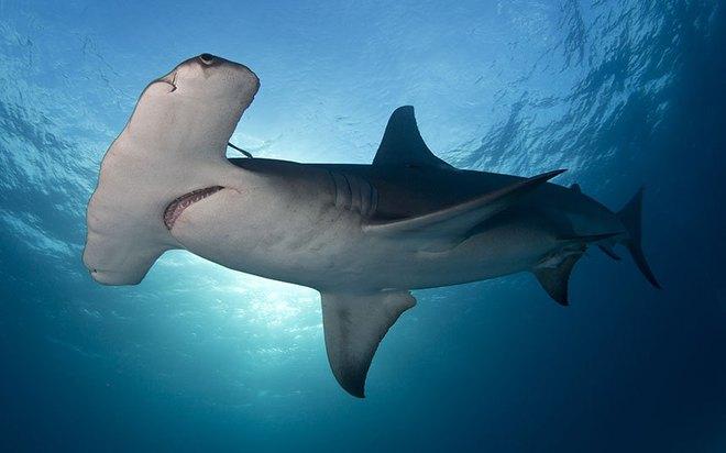 Đại chiến kinh hoàng của sát thủ đại dương và cá mập đầu búa - Ảnh 4.