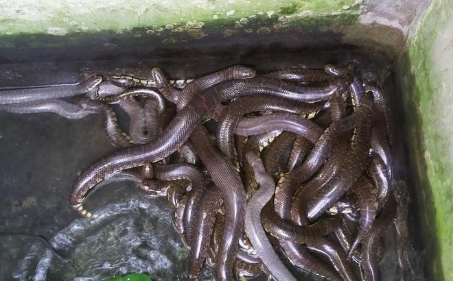 Thu lãi hàng trăm triệu/năm từ loài rắn nặng tới 8kg
