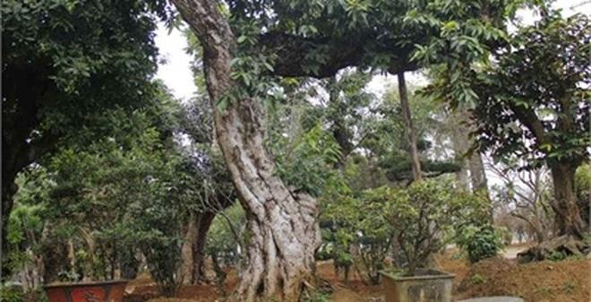 Đường dây buôn bán siêu cây trăm tỷ ở Hà Nội