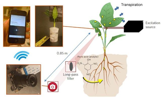 Loại cây biết dò bom và giám sát ô nhiễm môi trường - Ảnh 3.