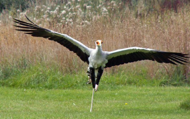 Màn mổ rắn của loài chim mệnh danh là sát thủ Taekwondo - Ảnh 3.