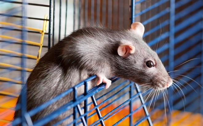 """Không cần nuôi mèo, đặt bẫy, 7 món đồ nhà nào cũng có này sẽ khiến lũ chuột """"chạy bán xới"""""""