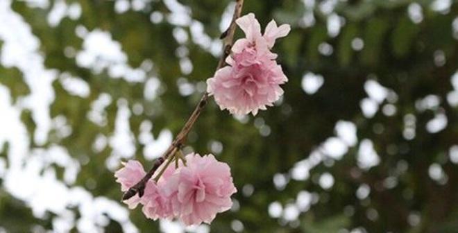 Hoa anh đào khoe sắc giữa lòng Hà Nội