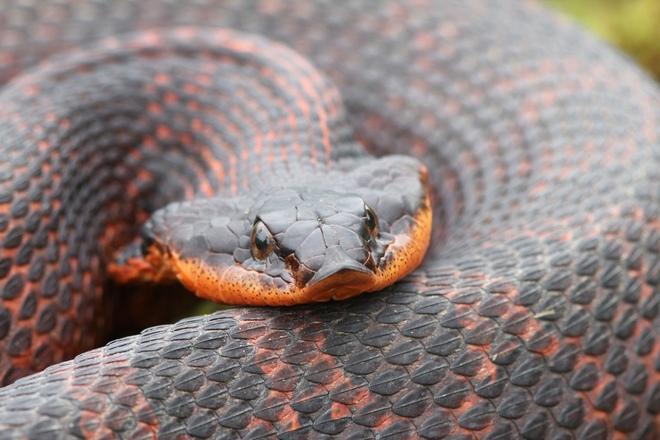 Màn giả chết xảo quyệt của loài rắn có họ với hổ mang chúa - Ảnh 1.