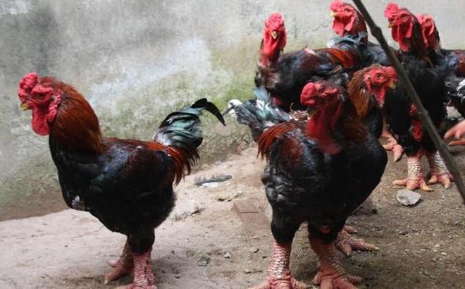 """Chỉ vì vài con gà, 26 con người lao đao hứng """"quả báo"""" đáng đời"""