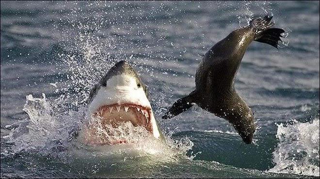 Màn rượt đuổi kinh điển của hung thần biển cả và hải cẩu con - Ảnh 1.