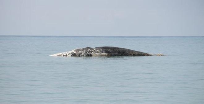 Phát hiện xác cá Voi nặng trên 10 tấn ở Bình Thuận
