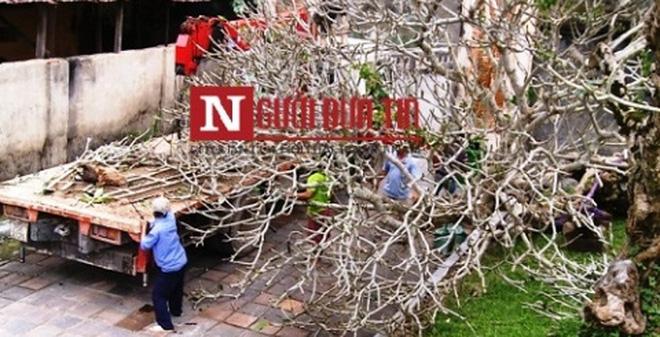 Cây trăm tuổi ở Đại Nội Huế vào vườn ươm hay 'biệt phủ' của Sếp?