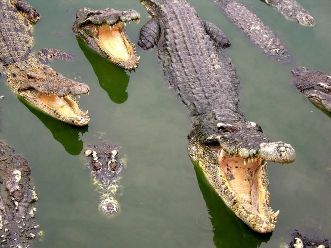 Bị dồn vào chân tường, báo đốm 1 mình chấp 4 con cá sấu và cái kết không thể ngờ - Ảnh 3.