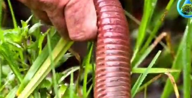"""Sởn da gà vì độ """"khổng lồ"""" của con giun đất to gấp 4 lần bình thường"""