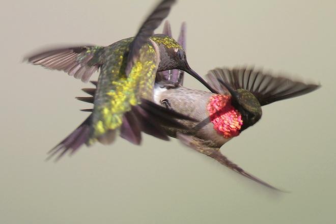Lý giải nguyên nhân chim ruồi không bao giờ gặp tai nạn - Ảnh 3.