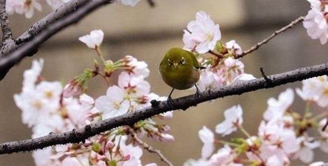 Nhật đề nghị trồng tặng Hà Nội 200 cây hoa anh đào