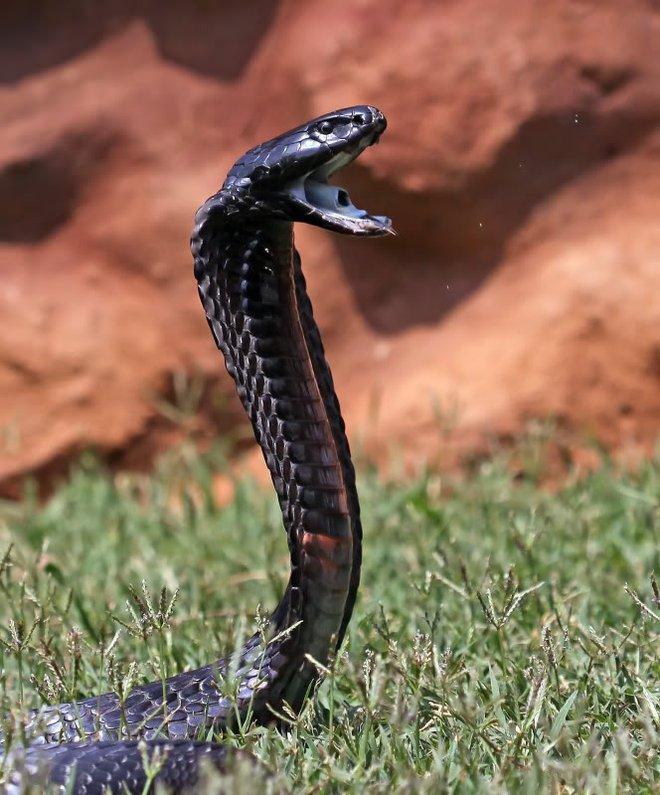 Đụng độ hổ mang phì hung dữ, rắn săn chuột chết trong đau đớn - Ảnh 1.