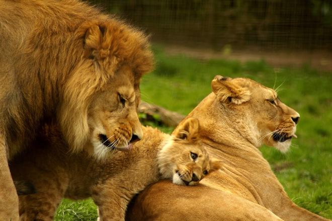 Huyết chiến đẫm máu quyết giành ngôi vương của 3 con sư tử đực - Ảnh 1.