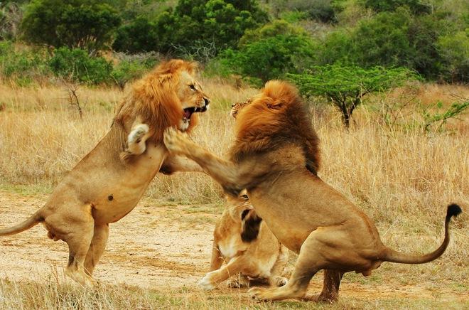 Huyết chiến đẫm máu quyết giành ngôi vương của 3 con sư tử đực - Ảnh 3.