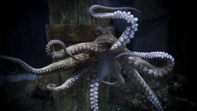 Chủ quan khinh địch, bạch tuộc bị con mồi nhỏ bé giã cho no đòn - Ảnh 3.