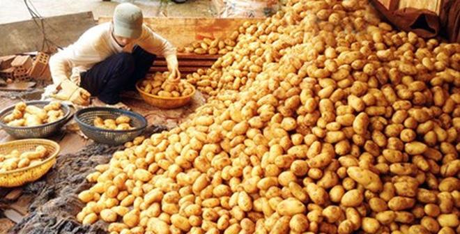 Khoai tây Trung Quốc bôi đất đỏ 'biến thành' khoai Đà Lạt