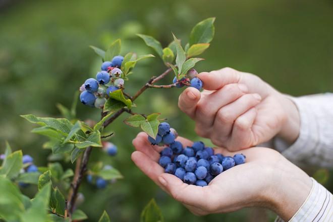 Món ăn màu tím: Siêu thực phẩm khiến cơ thể trẻ mãi không già - Ảnh 8.