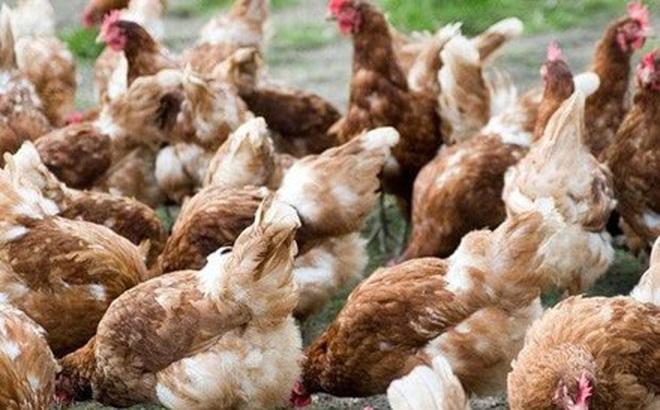 Vi khuẩn chết người trong thịt gà có thể kháng lại thuốc kháng sinh