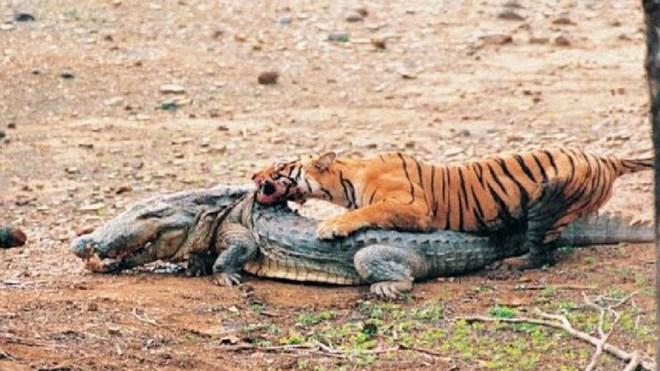 Đói ăn, hổ vằn hạ sơn, quyết tâm làm thịt cá sấu khổng lồ - Ảnh 2.