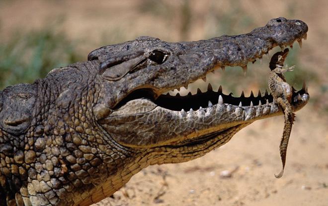 Đói ăn, hổ vằn hạ sơn, quyết tâm làm thịt cá sấu khổng lồ - Ảnh 1.