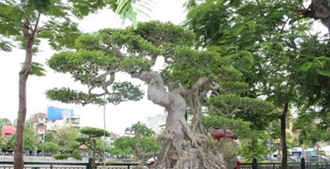 Hải Phòng: Cận cảnh những cây cảnh độc, lạ trị giá hàng tỷ đồng ở hồ Tam Bạc