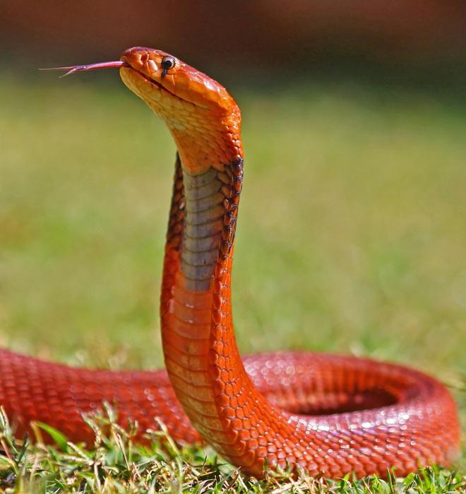 Đụng độ hổ mang phì hung dữ, rắn săn chuột chết trong đau đớn - Ảnh 5.