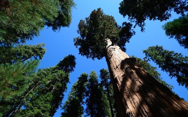Phát hiện giống cây cao nhất thế giới, xô đổ kỷ lục của cây meranti vàng mới lập cách đây 5 tháng