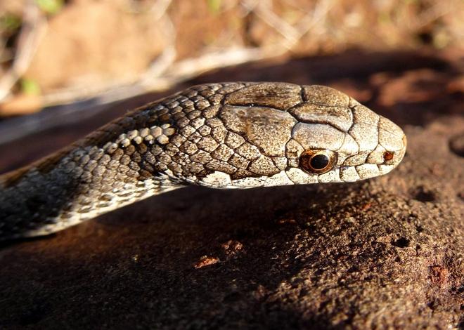 Sự thật khủng khiếp sau thước phim Kỳ nhông bị cả đàn rắn độc truy sát nghẹt thở của BBC - Ảnh 5.