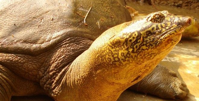 Rùa Đồng Mô hiện ra sao?