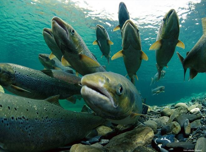 Hành trình tìm về cái chết của cá hồi và 2 bài học làm người cần phải khắc ghi - Ảnh 4.
