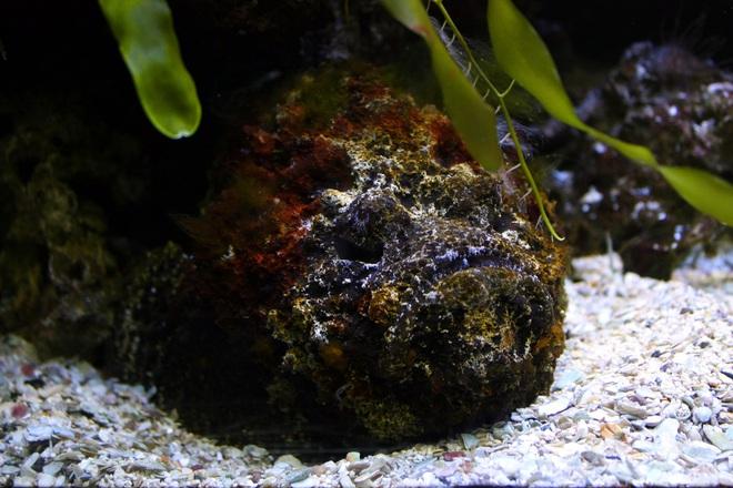 Cá mặt quỷ: Quái vật có nọc độc khủng khiếp bậc nhất đại dương - Ảnh 1.