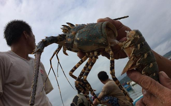 [ẢNH] Xót cảnh tôm hùm chết hàng loạt, người dân bỗng chốc trắng tay ở Phú Yên