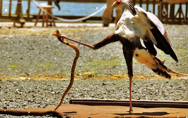 Màn mổ rắn của loài chim mệnh danh là sát thủ Taekwondo - Ảnh 2.