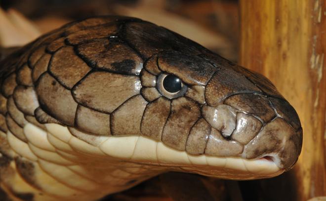 Cuộc tử chiến đau lòng giữa 2 con rắn hổ mang chúa - Ảnh 2.