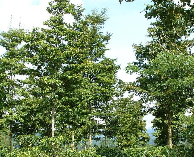 Những cây gỗ tươi quý hiếm bậc nhất thế giới, có giá trên trời mà đại gia săn lùng - Ảnh 2.